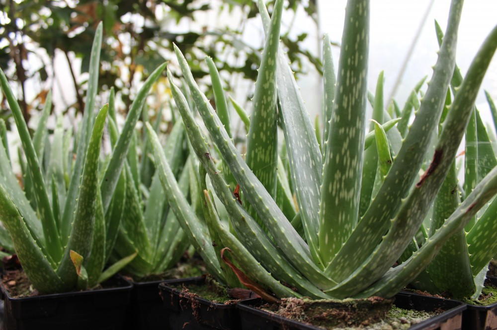 Aloe gel – properties and everyday use